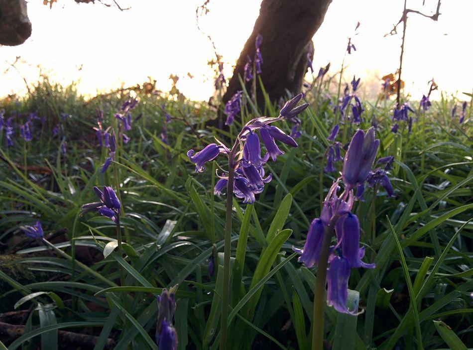 Bluebells Springtime Spring Flowers Spring Has Arrived Spring 2016 Springhassprung