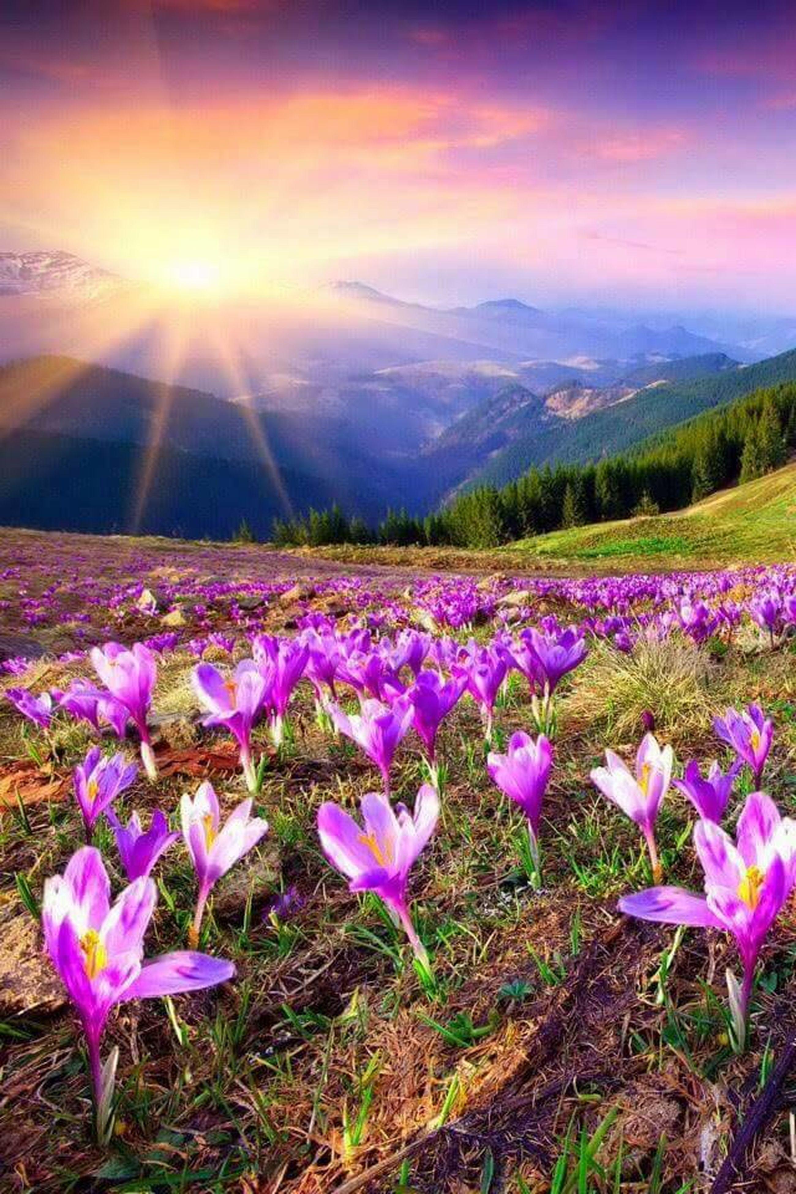 flower, beauty in nature, landscape, field, sky, tranquil scene, nature, tranquility, grass, plant, sunlight, scenics, growth, purple, sunbeam, mountain, cloud - sky, sun, non-urban scene, no people