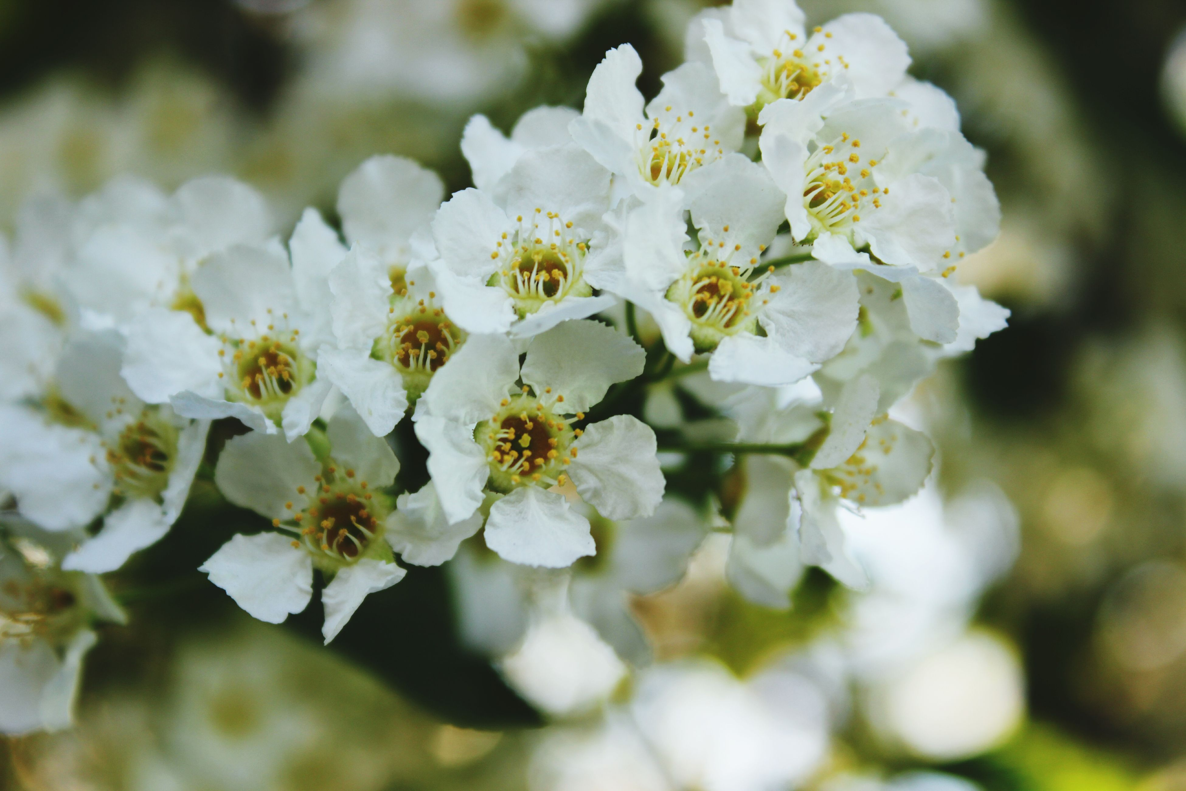 flower, freshness, white color, fragility, growth, petal, focus on foreground, beauty in nature, close-up, flower head, nature, cherry blossom, blooming, blossom, in bloom, tree, white, pollen, stamen, selective focus