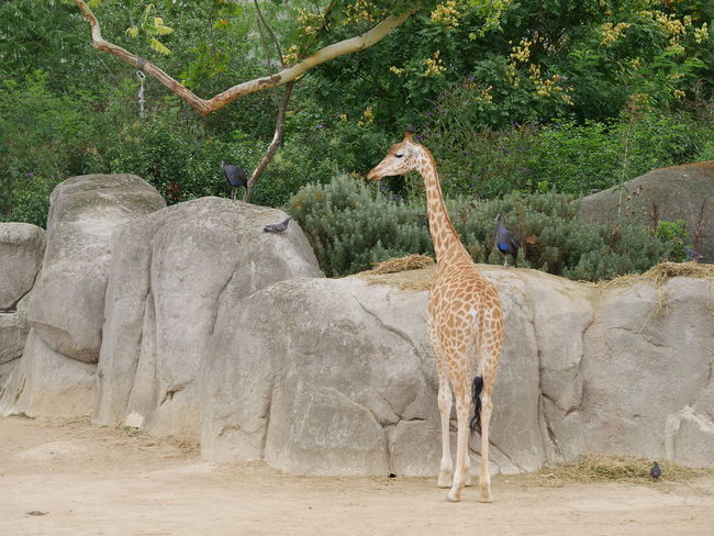 Giraffe Zoo Animal Themes Animal Wildlife Animals In The Wild Beauty In Nature Bird Day Full Length Mammal Nature No People One Animal Outdoors Standing Tree