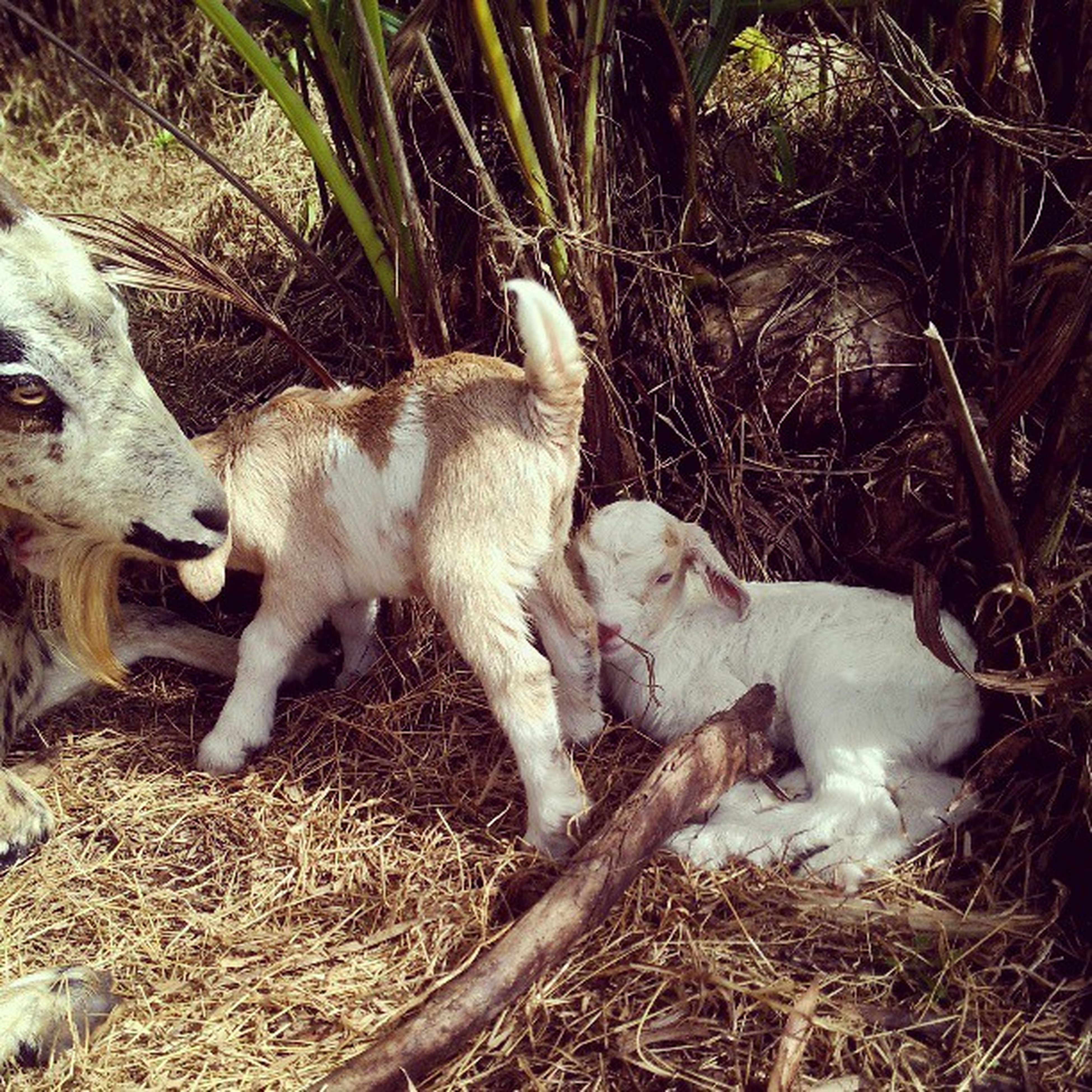 animal themes, domestic animals, mammal, field, pets, young animal, two animals, white color, high angle view, grass, dog, nature, one animal, day, togetherness, no people, livestock, outdoors, lying down, zoology