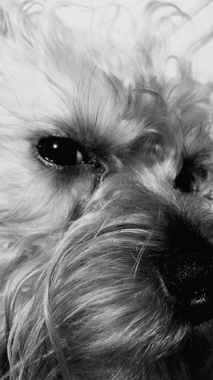 Mychewbacca Star Wars Mismydog