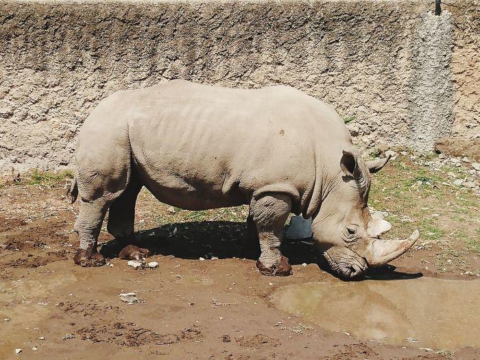 One Animal Mammal Animal Themes Animal Wildlife Animals In The Wild Outdoors Sand Safari Animals Day Nature No People Rino Rhino EyeEmNewHere The Week On EyeEm