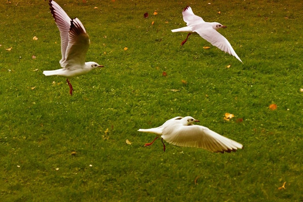 Always the same bird Flying Seagulls Birds Photoshop Nature_collection Edit Collection Nature