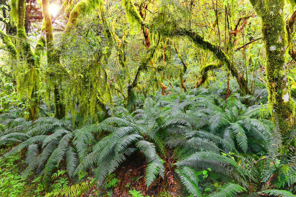 Lush Forests of Fiordland National Park, South Island, New Zealand Beauty In Nature Day Fern Fiordland Forest Forests Green Green Color Growth Landscape Lush Lush - Description Lush Foliage M National Park Nature New Zealand No People Outdoors South Island Tranquil Scene Tree