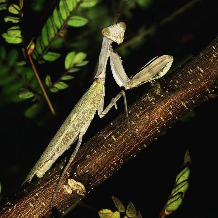 Let's praying. Prayingmantis Mantisgram Mantis Indonesiagram prayermantis insect insect_perfection tgif_macro tgif_insects