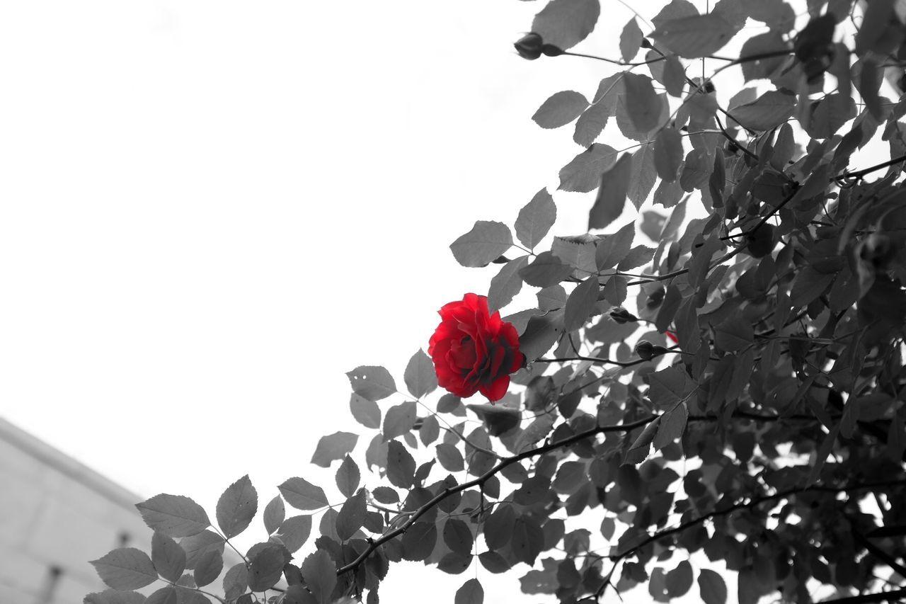 Fujifilm FujiX100T X100t Streetphoto_bw B&W Portrait Monored Flowers Blossom Roses Rosé