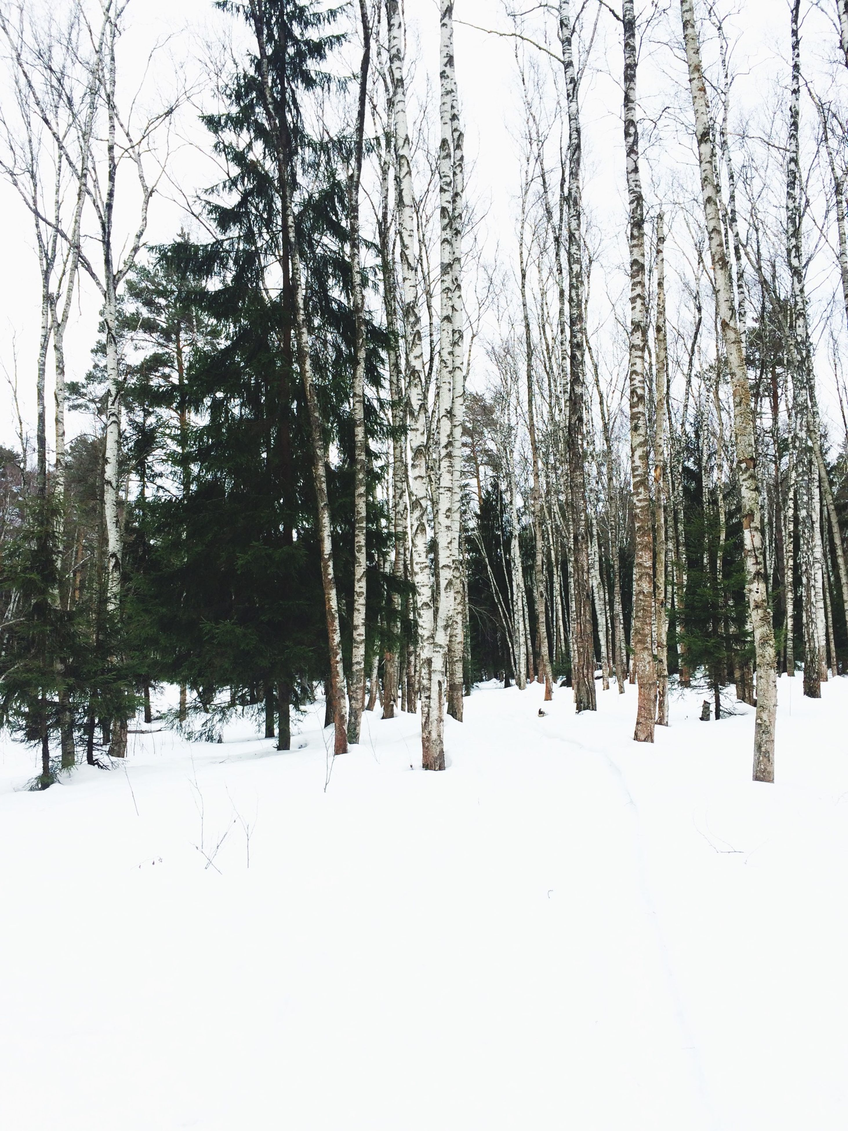 tree, cold temperature, winter, snow, nature, weather, tranquility, growth, day, beauty in nature, no people, branch, forest, outdoors, landscape, birch tree, sky