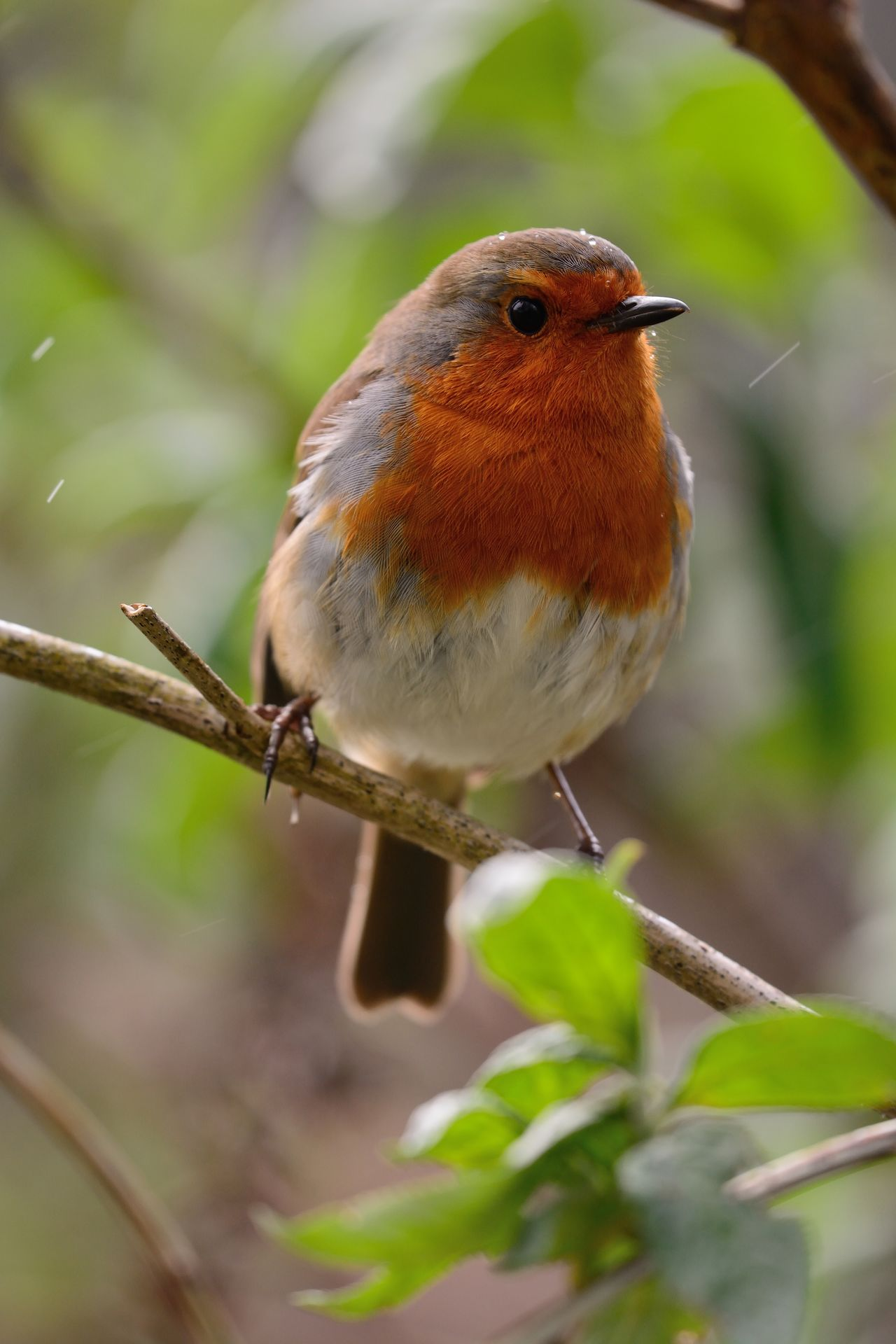 Animal Themes Animal Wildlife Animals In The Wild Beauty In Nature Bird Birds Branch Check This Out Close-up Day Eye4photography  EyeEm Best Shots EyeEm Nature Lover Focus On Foreground Nature Nature Photography Nature_collection No People One Animal Outdoors Perching Robin Songbird  Taking Photos Wildlife