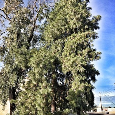 Pretty trees Tree Nature Growth No People Low Angle View Outdoors Green Color Day Beauty In Nature Branch Sky Beauty In Nature Tranquil Scene Bark Tranquility Mesa Arizona