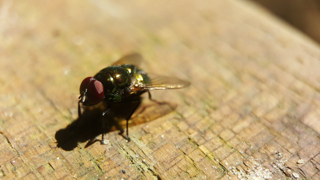 Although i dont like it but it still is a amazing creature. Fruitfly Little Life Insect Amazing Creepy Macro Photography ハエ