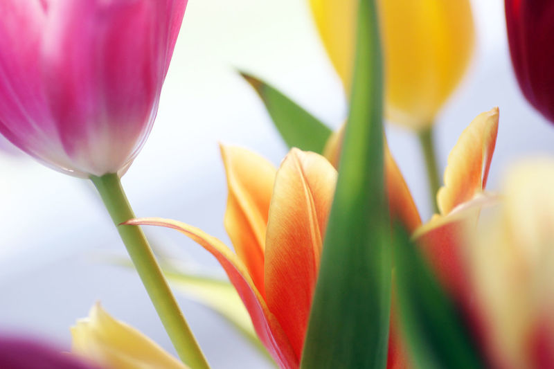Beauty In Nature Blooming Blumenstrauß Bunt Close-up Day Flower Flower Head Fragility Freshness Growth Growth Leaf Multi Colored Nature No People Outdoors Petal Plant Tulips Tulpen Wachstum