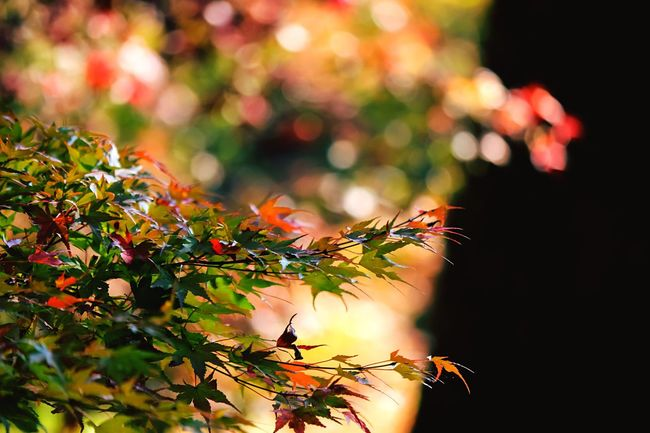 Coloful Maples Creative Light And Shadow Color Photography Colorful Leaves Amazing Colours EyeEm Best Edits EyeEm Nature Lover From My Point Of View Maple Light And Shadow RedMapleLeaf Shadows & Lights MapleLeaves Beautiful Nature Autumn Colors Maple Leaves