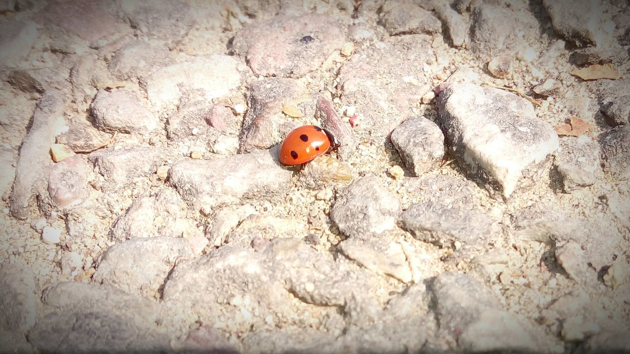 animal themes, one animal, animals in the wild, animal wildlife, insect, high angle view, no people, ladybug, outdoors, tiny, day, nature, close-up