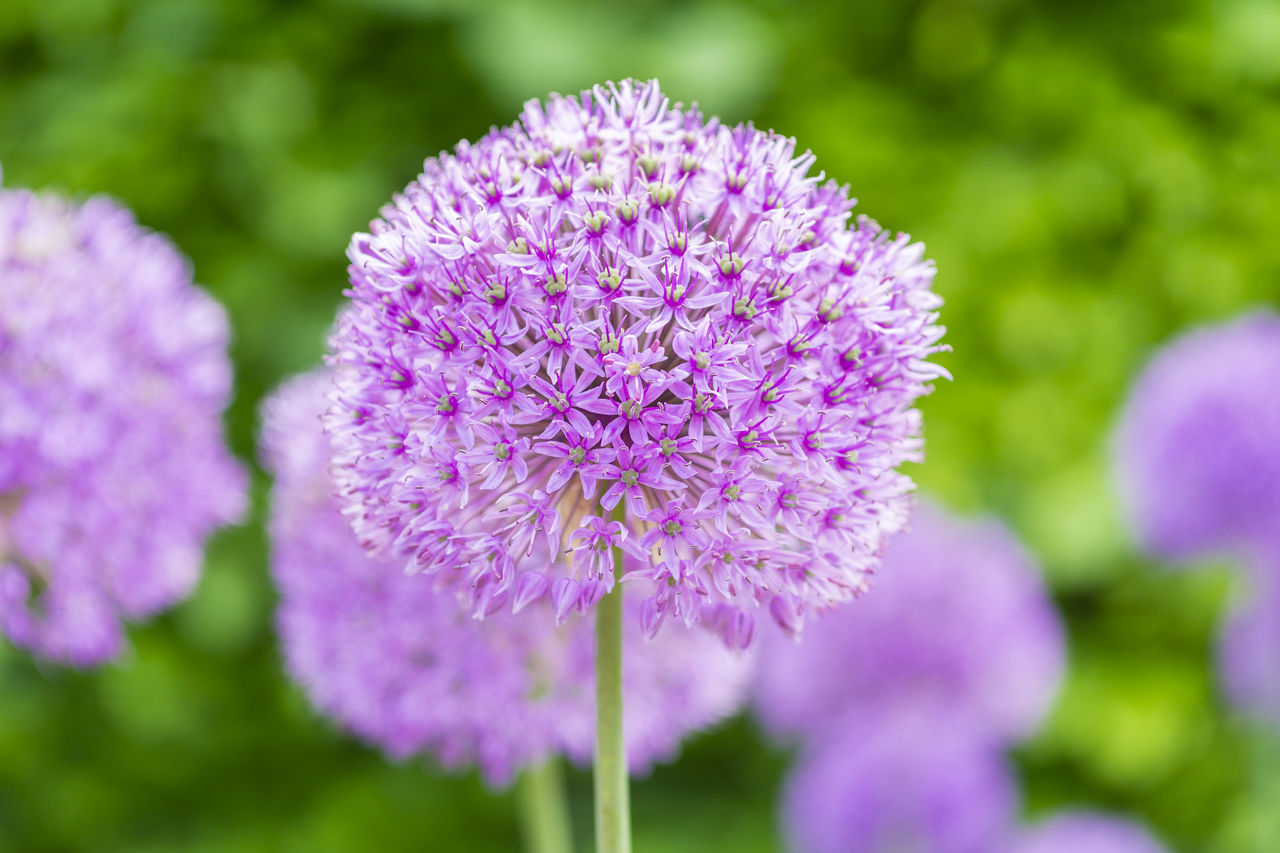 flower, nature, beauty in nature, purple, fragility, growth, petal, focus on foreground, day, freshness, flower head, outdoors, close-up, no people, plant, blooming