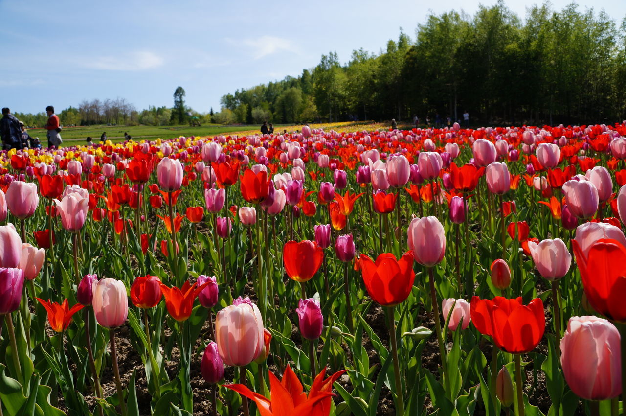 Beautiful stock photos of tulip, Abundance, Beauty In Nature, Day, Field