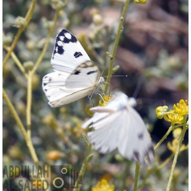 صورة فراشة حشرة تصويري  تركيز فوكس ماكرو focus macro insect انستغرام تصويراتكم nature flowers flower plant plants green
