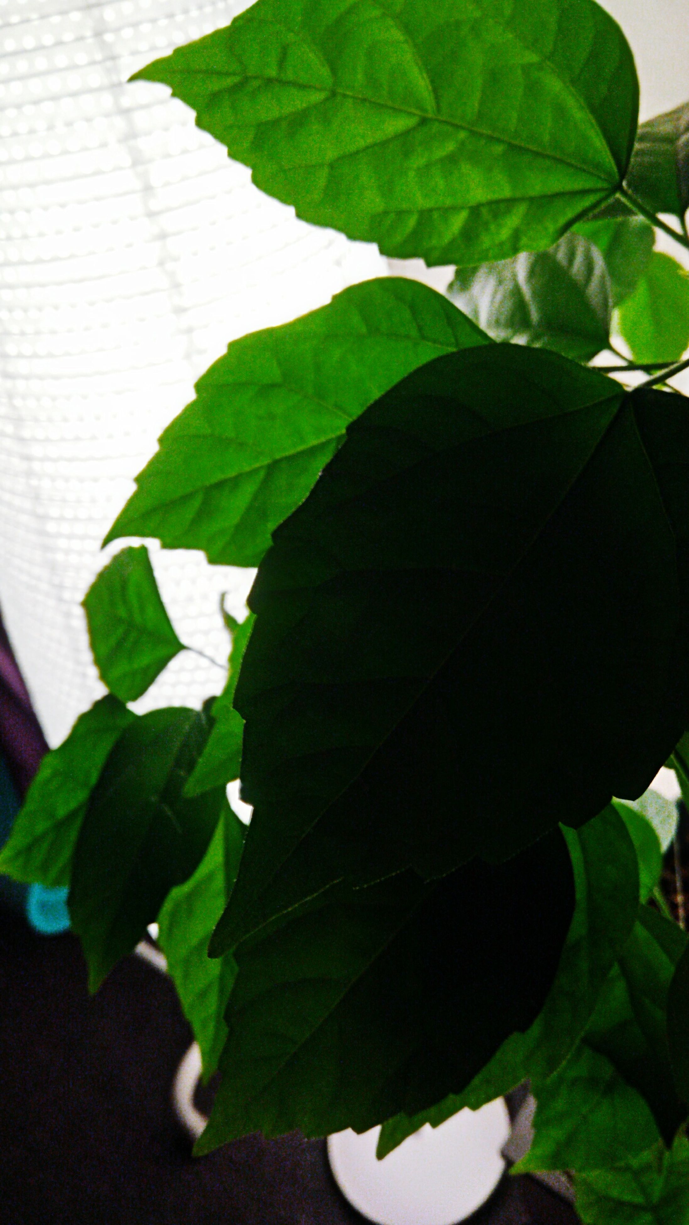 leaf, green color, growth, plant, nature, close-up, beauty in nature, no people, day, indoors, freshness, fragility