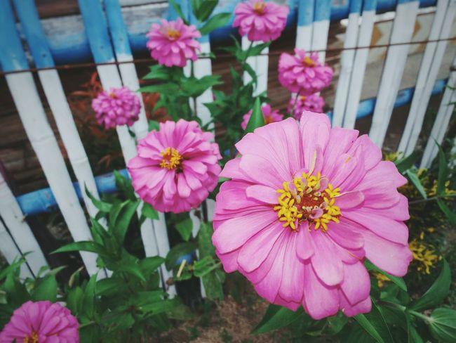 """My street neighborhood "" Upclose Street Photography Flowers Pink Colorful Street Photography Macro Beauty"