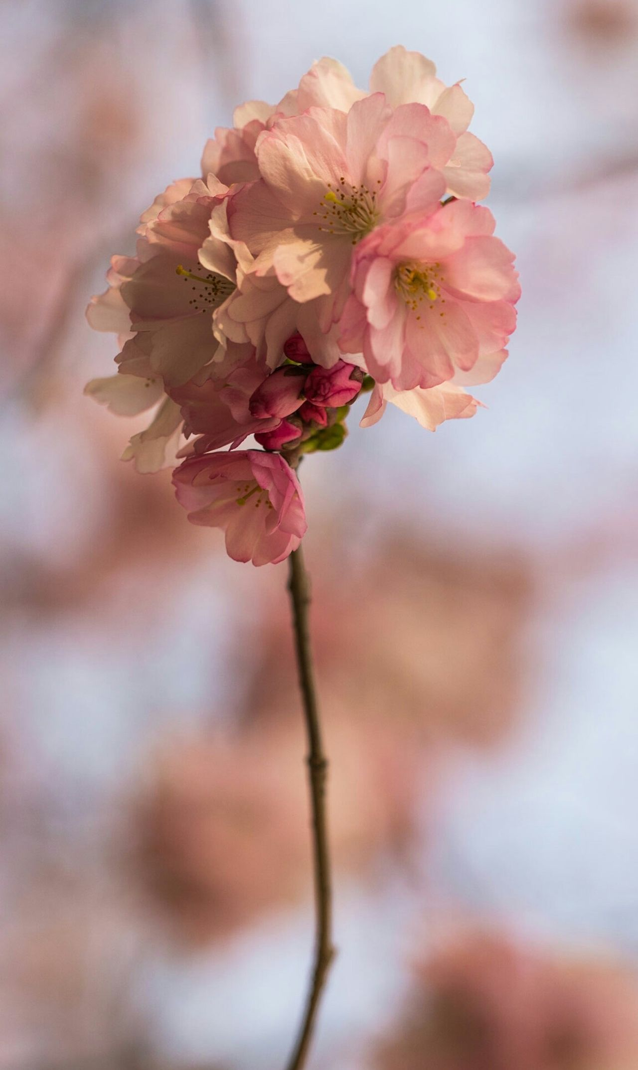 ~🌸🌿~ Flower Nature Flower Head Beauty Close-up Beauty In Nature Plant Blossom Freshness Springtime Fragility Outdoors Growth No People Day Colors Getting Inspired Plants 🌱 Life Details Nature Photography Nature_collection Nature On Your Doorstep Natural Pattern Pink Color