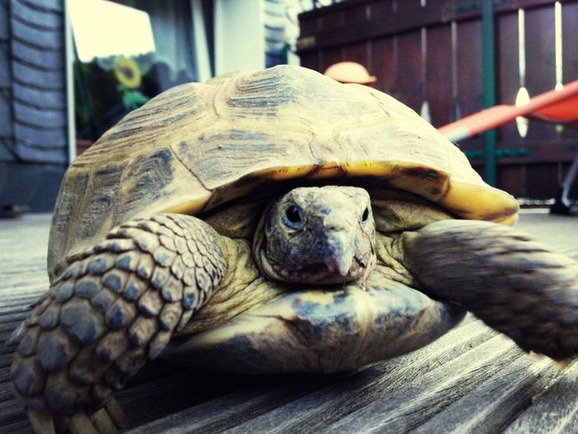 Tortoise Turtle Connected With Nature Pets Corner iPhone 4S