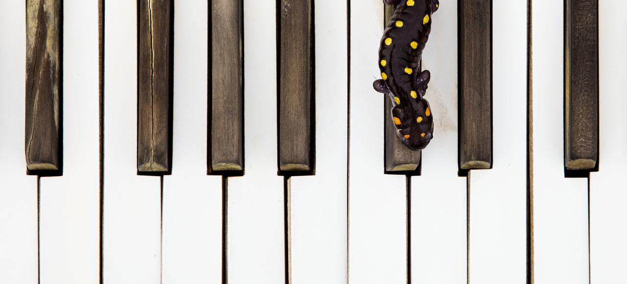 Salapiano Fusion Graphique Hanging No People Piano Keys Piano Moments Piano Time Salamander