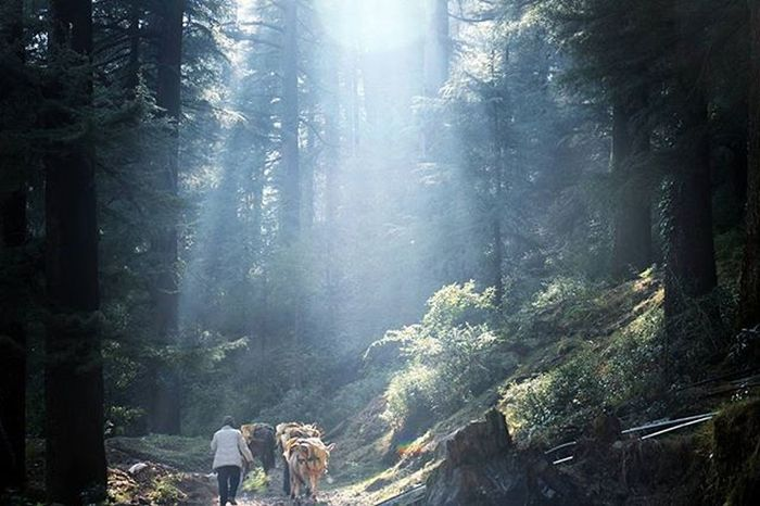In my fabulous tour i have captured the man going for job in jungle with his donkeies . . . Himachaldiries Jungle Morning Himalaya Dharamshala Macleodganj Travelforshoot Travelphotography Khachars Donkey Sunraise Sun Indiatravel @stories.of.india Naturephotography Shotoftheday Life Junglediries Lostinjungle Naturebeauty Bhatka_jiv Wildlife Wildindia