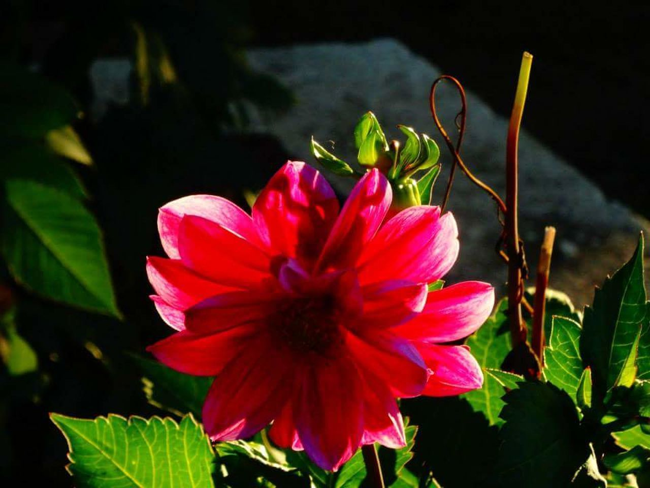 flower, growth, petal, plant, fragility, beauty in nature, flower head, freshness, nature, no people, close-up, red, blooming, outdoors, pink color, day, leaf