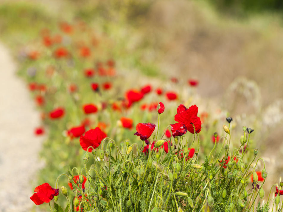 Beauty In Nature Close-up Ditch Flower Flower Head Fragility Freshness Grass Growth Gutter Highway Kerb Nature No People Outdoors Petal Plant Poppies  Poppy Poppy Flowers Red Road Spring Springtime Way
