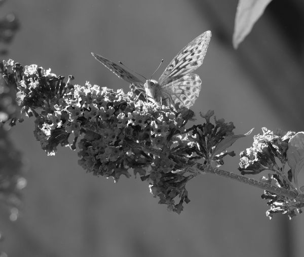 Silver-washed fritillary - Butterfly - Fine Art Photography - Eyeem Monochrome - Natural Beauty - Nature - Nature On Your Doorstep - Garden & Nature - EyeEm Nature Lover