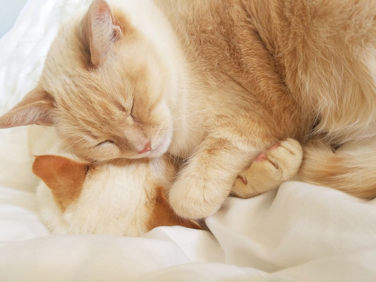 Photo of cat(s) in everyday situations. Animal Themes Bed Cat Cats Close-up Cuddle Day Domestic Animals Domestic Cat Eyes Closed  Feline Indoors  Lying Down Mammal No People One Animal Pets Relaxation Sleeping