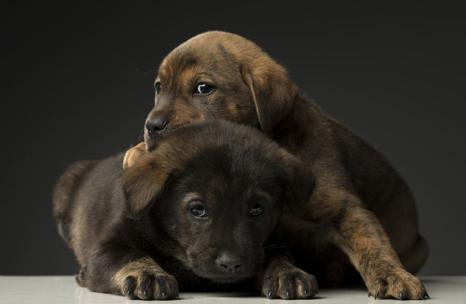 Beautiful stock photos of welpen,  Animal Themes,  Black Background,  Close-Up,  Cute
