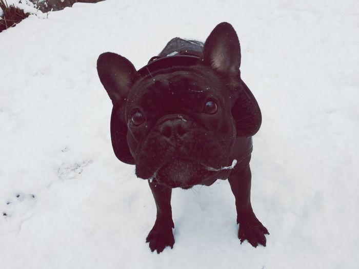 My Dogs Are Cooler Than Your Kids Ilovemydog French Bulldog Doris