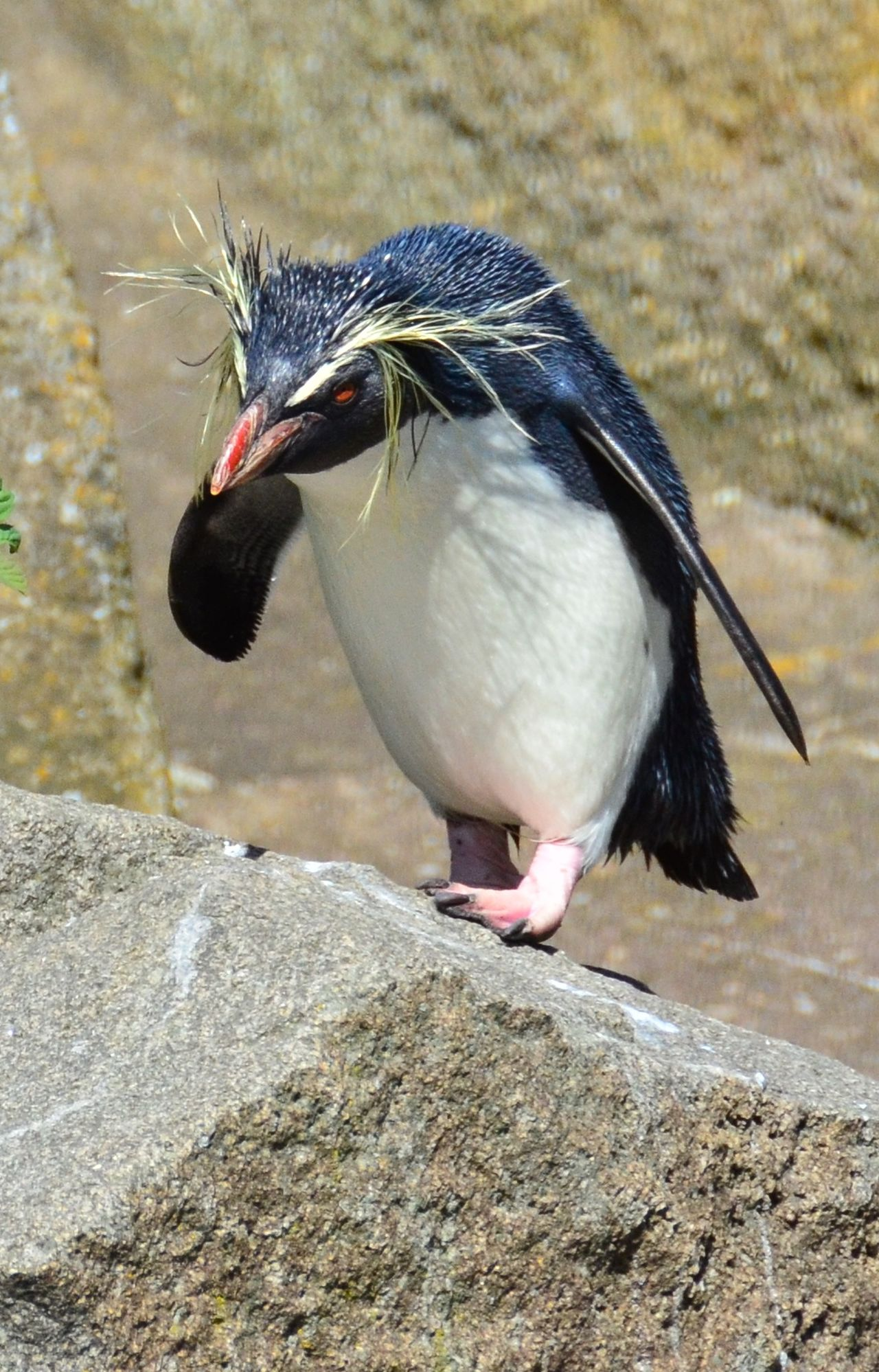 Penguin Pissed Off  Fed Up Ornery