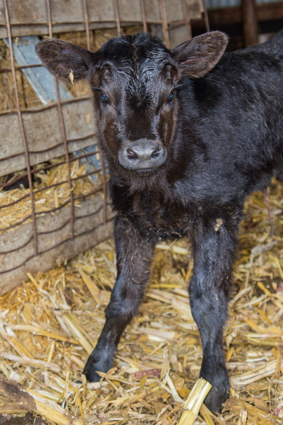 Agriculture Animal Black Black Angus Calf Canon60d Canonphotography Cattle Cattle Shed Domestic Animals Farm Fence Livestock Spring Standing Young Young Animal