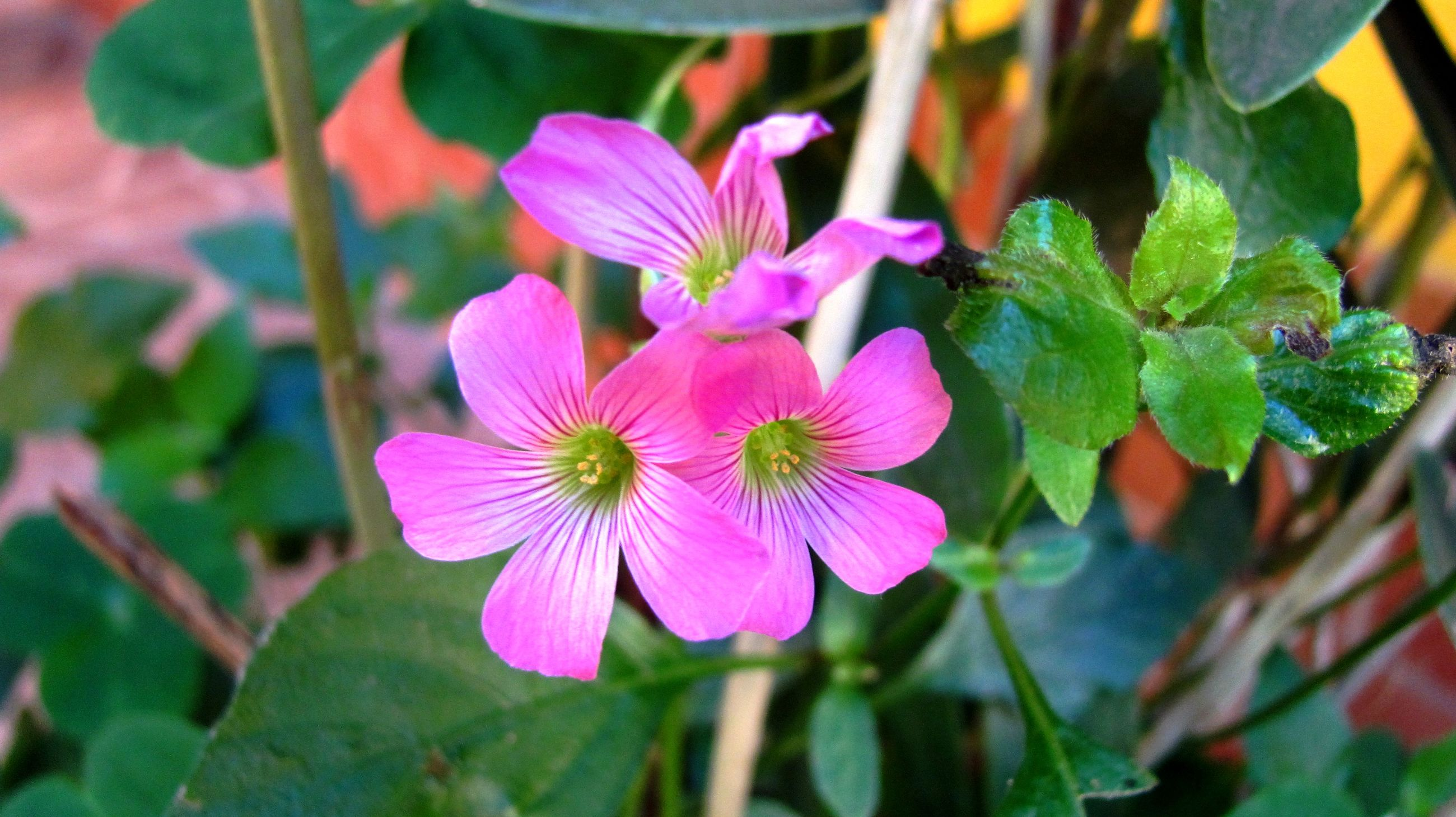 flower, growth, plant, fragility, petal, nature, flower head, beauty in nature, freshness, day, no people, outdoors, close-up, leaf, focus on foreground, blooming, green color, pink color