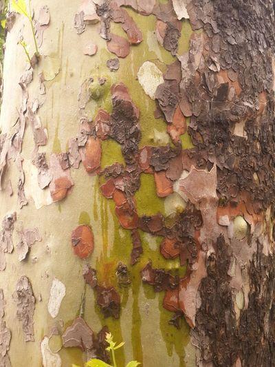 비 맞으니까 플라타너스 옷이 국방부 색으로 막 변하고 그르드라아 Tree Platanus On Campus Rainy Day