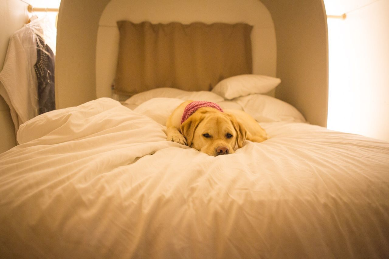 dog, pets, one animal, domestic animals, animal themes, bed, mammal, indoors, sofa, home interior, bedroom, relaxation, pillow, no people, day