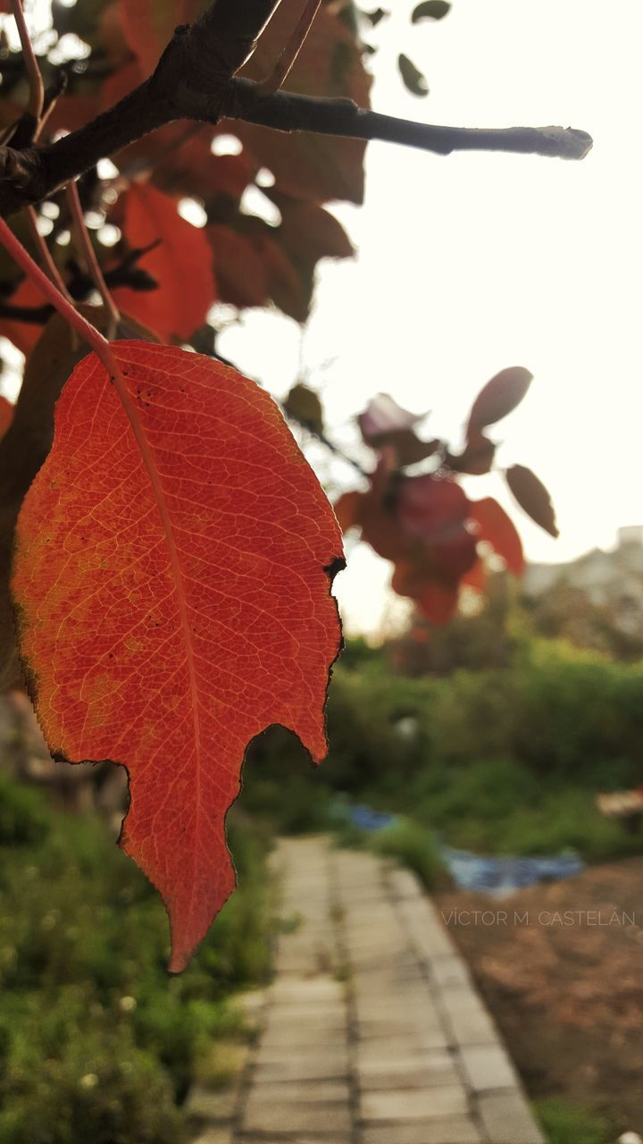 leaf, autumn, focus on foreground, nature, outdoors, day, growth, beauty in nature, change, no people, tree, close-up, fragility, maple leaf, freshness, maple