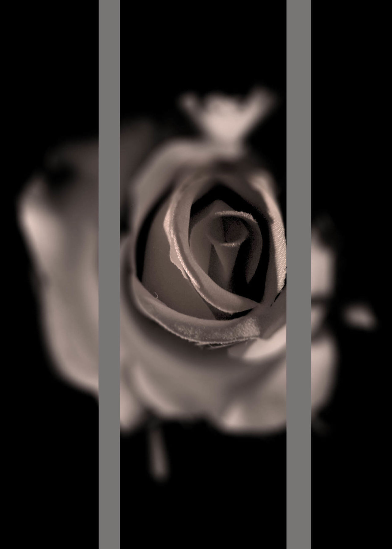 The rose in gray Close-up Day Flower Indoors  No People Photo Photo Art Romantic Rose - Flower Window