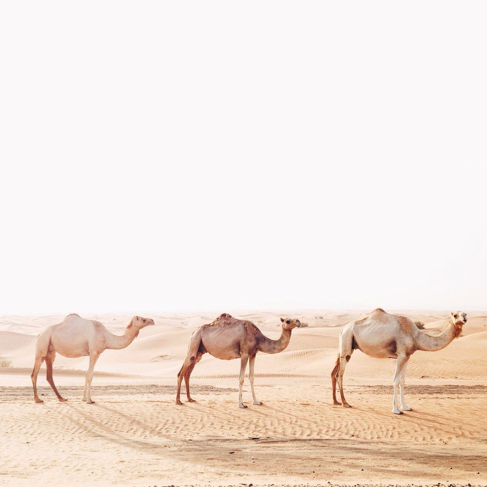 Beautiful stock photos of camel, animal themes, horse, herbivorous, copy space