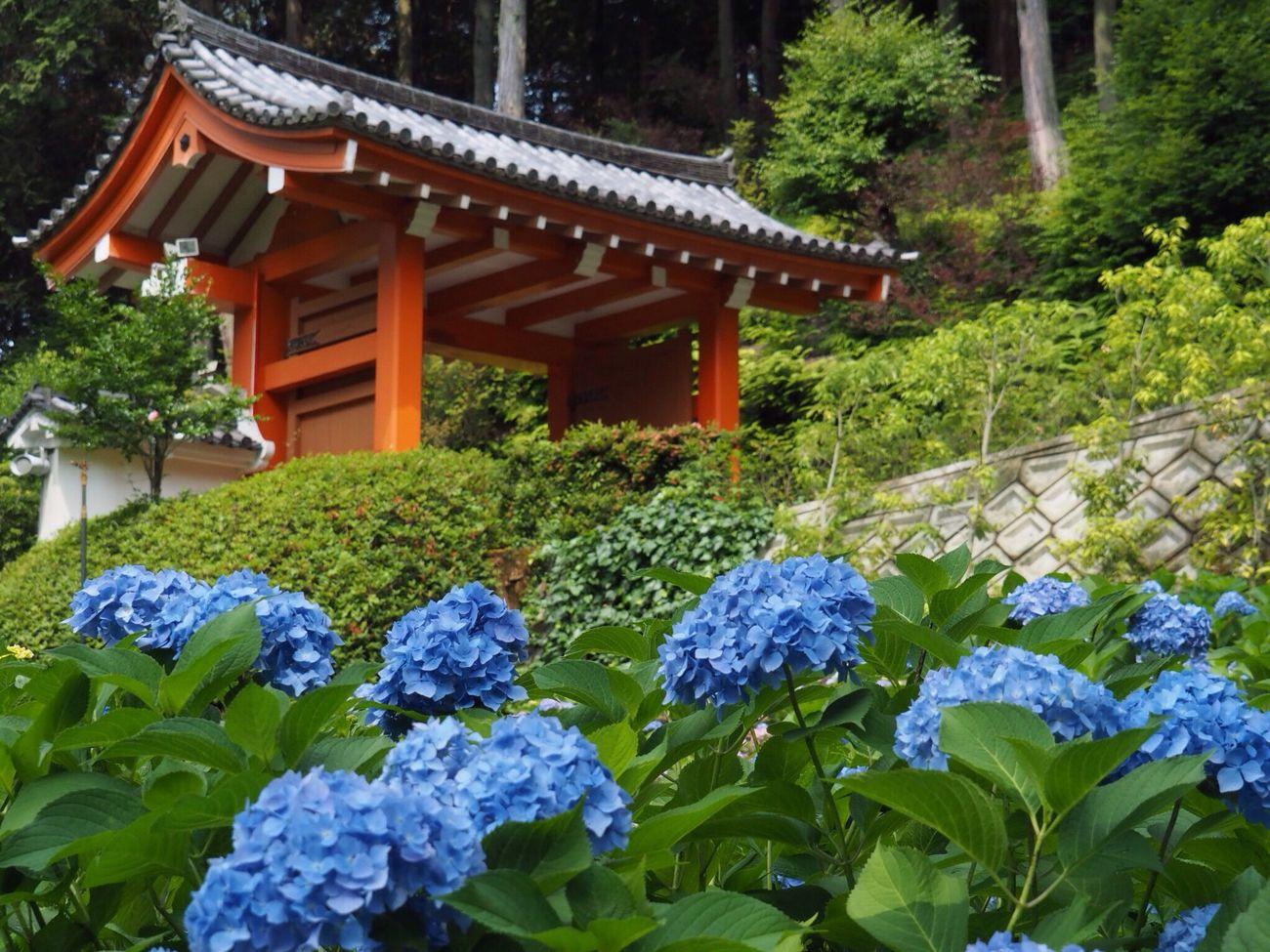 Kyoto Japan Uji Mimurotoji Temple Gate Hydrangea Flowers Plant Beauty In Nature Outdoors Day Blue Beauty Olympus PEN-F 京都 日本 宇治 三室戸寺 紫陽花