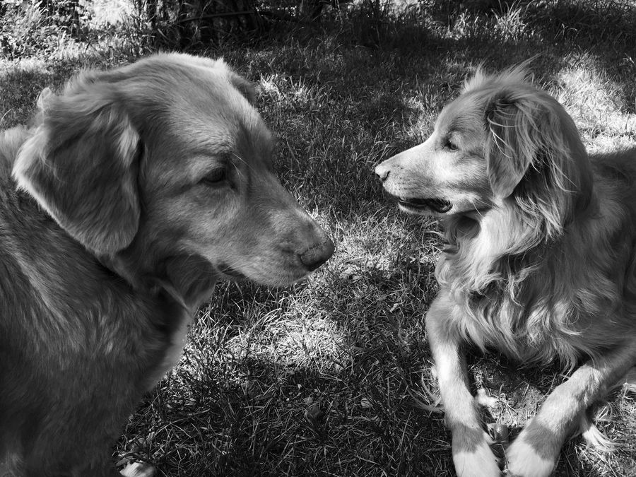 Animal Themes Dog Domestic Animals Pets Retriever Grass No People Outdoors Close-up Day Nature Togetherness Nova Scotia Duck Tolling Retriever EyeEmNewHere