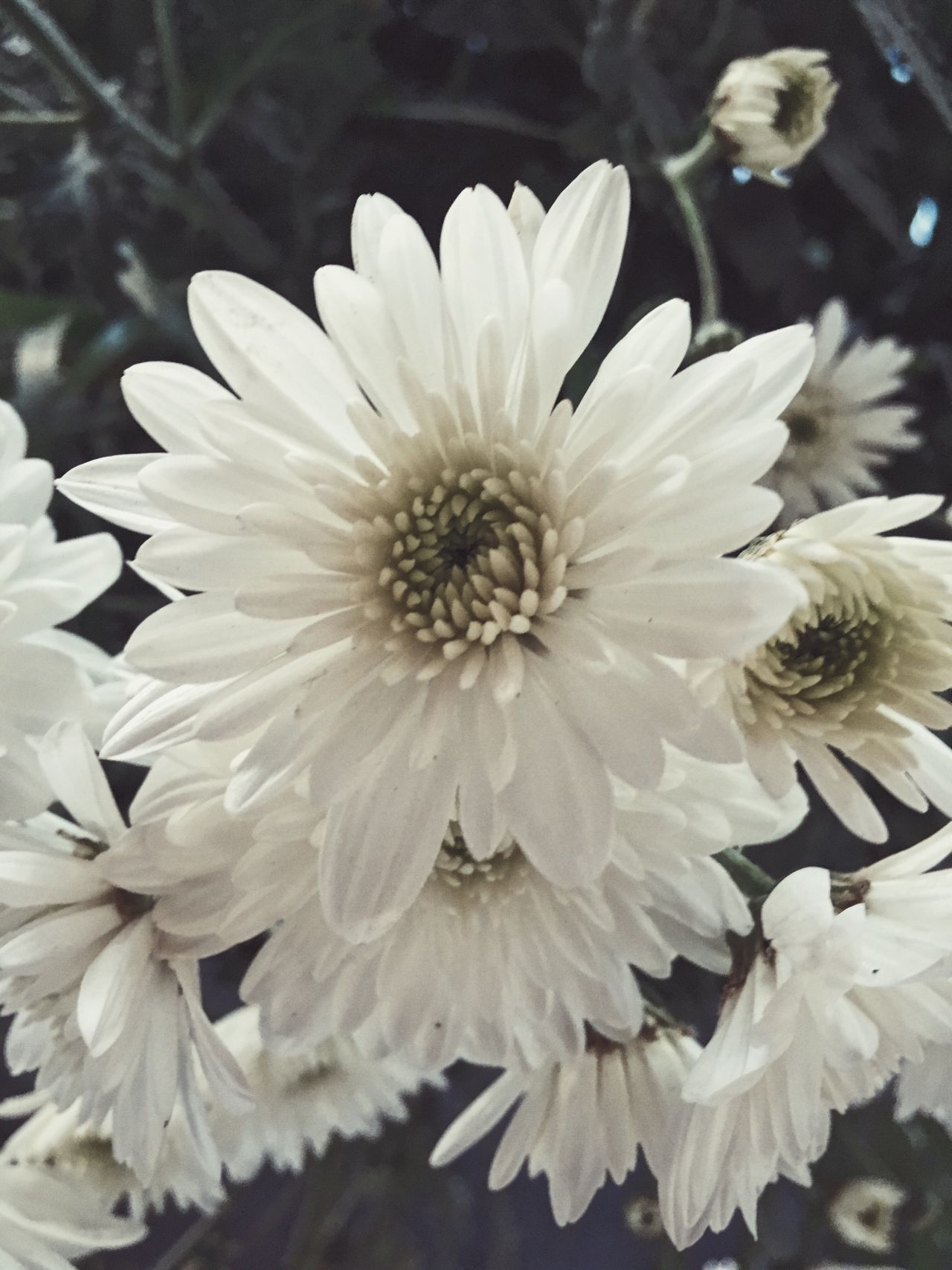 Chrysanthemum IPhone Flower Nature Beauty In Nature Petal Fragility Freshness Flower Head Growth Blooming Close-up Plant No People Outdoors Day
