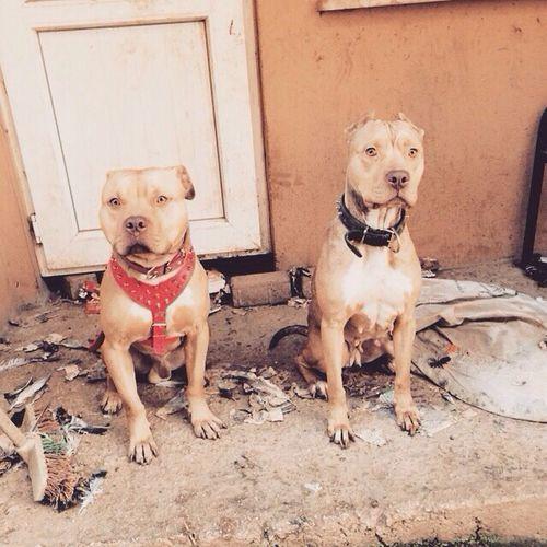 Gamedog Pitbull Pitbulltürkiye Dog