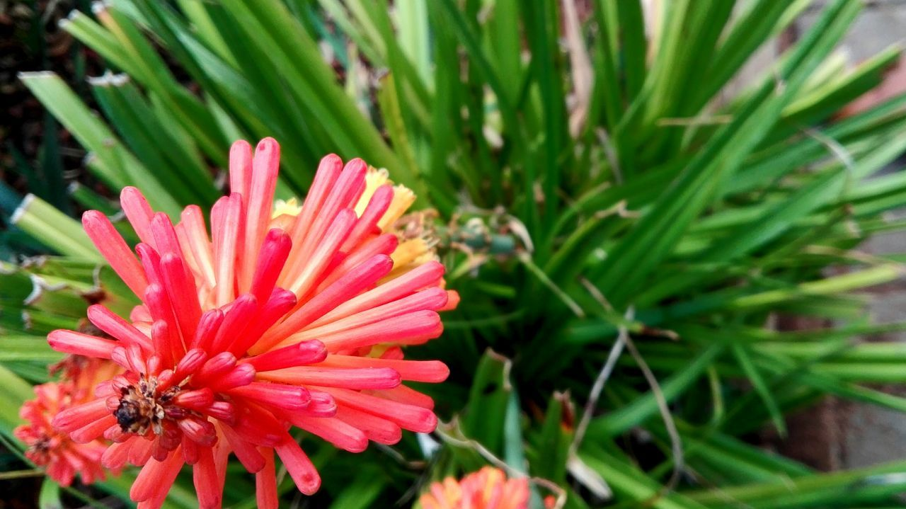 Pink Flower Green Leaves Offcenter Garden Strange Leaves Long Petals Clear Nature