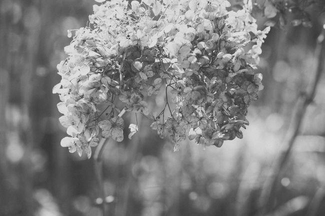 Black & White Black And White Delicate Delicate Flowers Elegant Elégance Flower Flower Ball Flower Balls Flowers Fragile Fragility Nature Nature On Your Doorstep