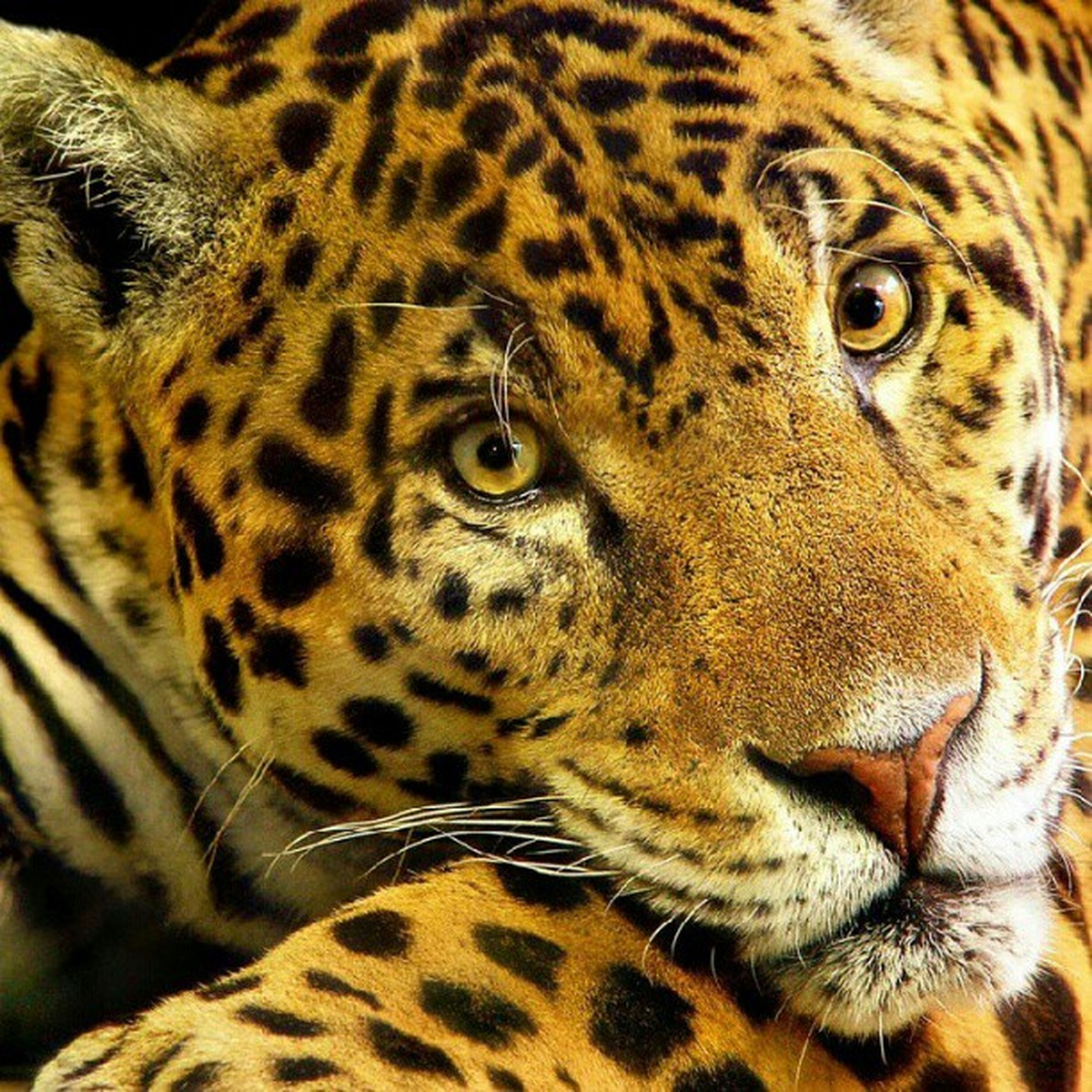 animal themes, one animal, animals in the wild, wildlife, animal markings, mammal, natural pattern, safari animals, animal head, tiger, close-up, animal body part, endangered species, leopard, zoology, undomesticated cat, whisker, part of, looking at camera