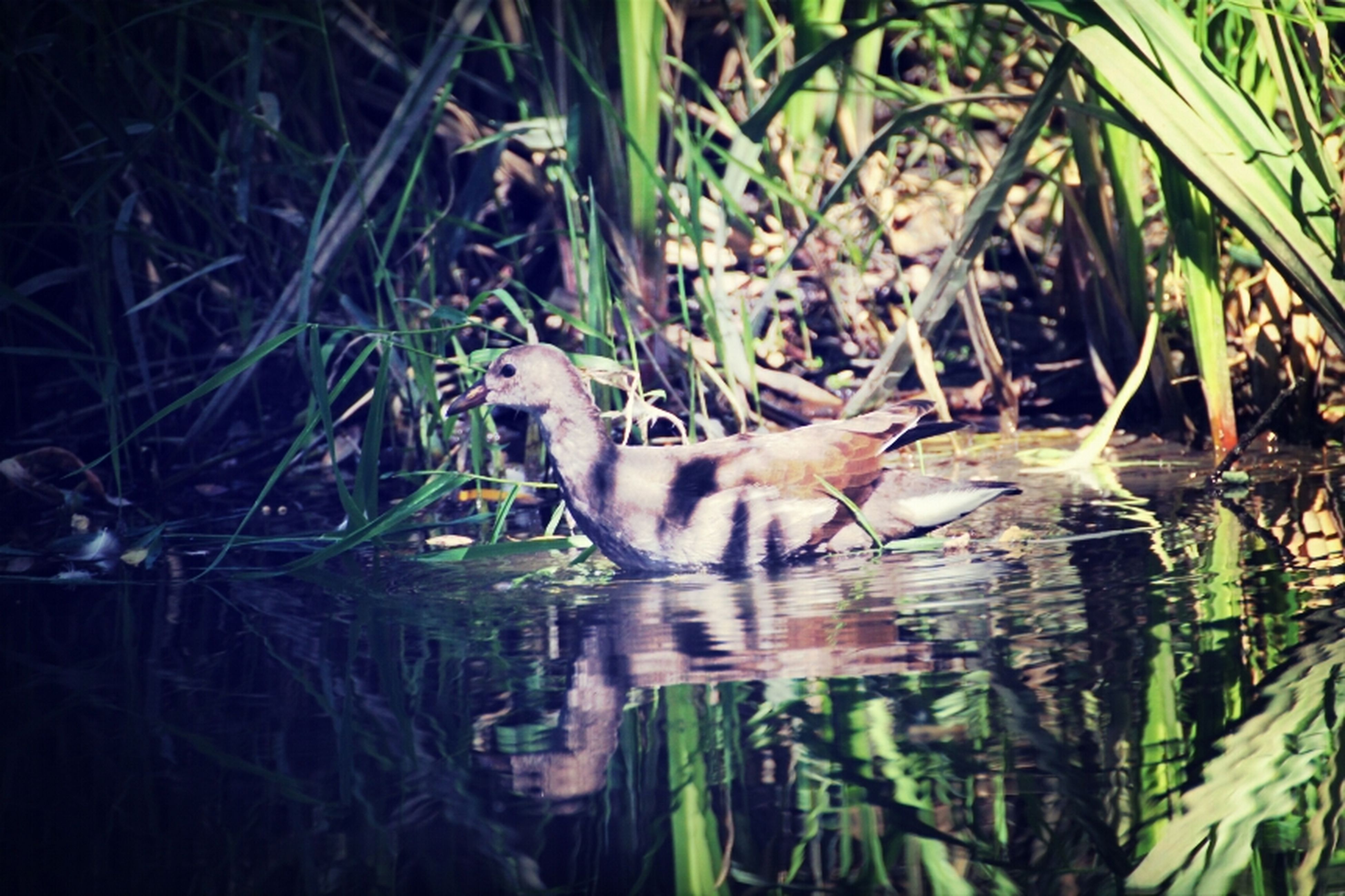 animal themes, animals in the wild, water, wildlife, lake, reflection, one animal, bird, swimming, duck, nature, waterfront, plant, young animal, high angle view, outdoors, pond, no people, day, two animals