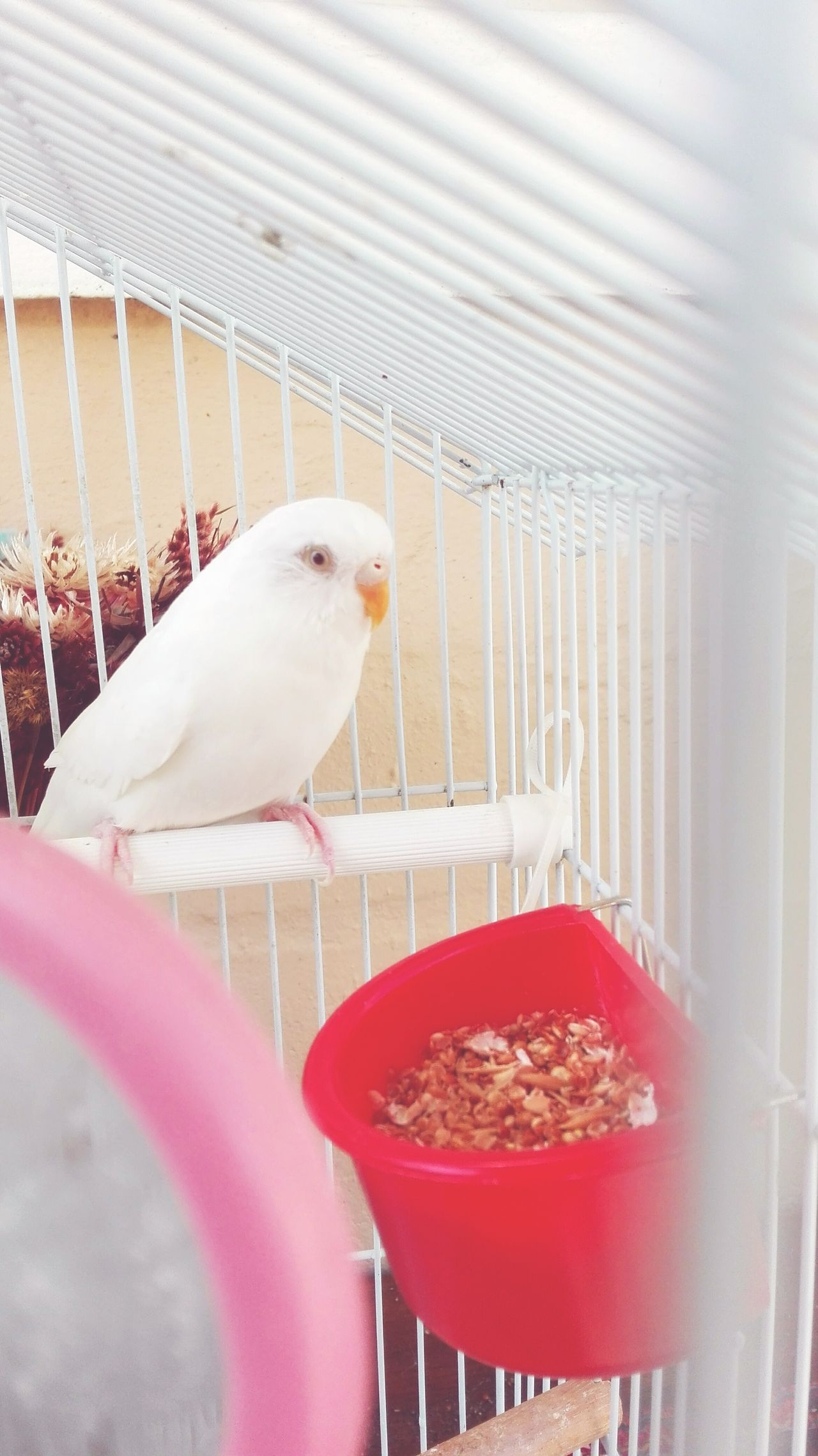 Bird Trapped Cage Animal Themes No People Birdcage Animal Wildlife Indoors  One Animal Pets Budgerigar Day EyeEmNewHere Alone But Not Lonely Mindful